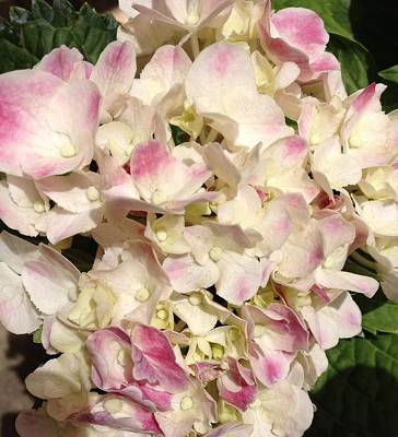 Photograph - White And Pink Hydrangea by Alohi Fujimoto