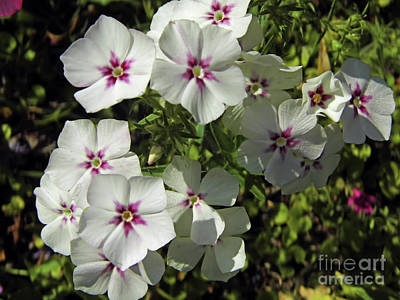 Photograph - White And Purple Phlox by D Hackett