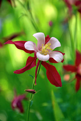 Photograph - White And Red Columbine  by James Steele