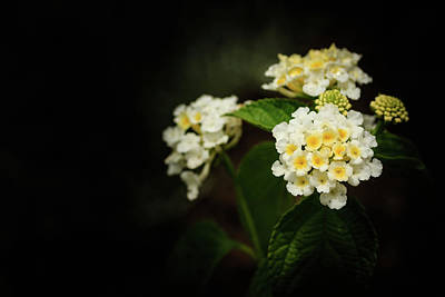 Photograph - White And Yellow Lantana On Black Macro by Joni Eskridge