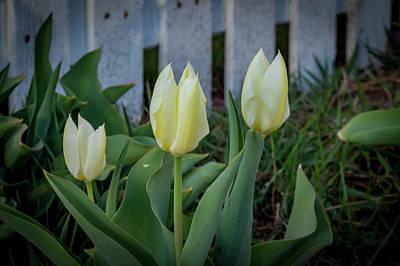Photograph - White And Yellow Tulips by K Bradley Washburn