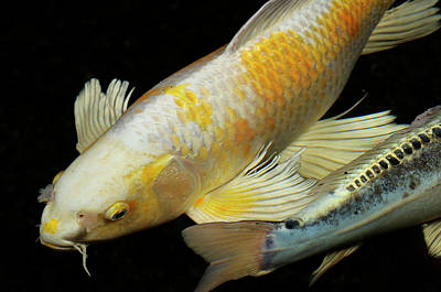 White And Yellow Yamabuki Hariwake Butterfly Koi Fish At Night W Art Print