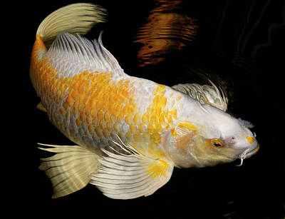 Butterfly Koi Photograph - White And Yellow Yamabuki Hariwake Butterfly Koi Fish Swimming A by Reimar Gaertner