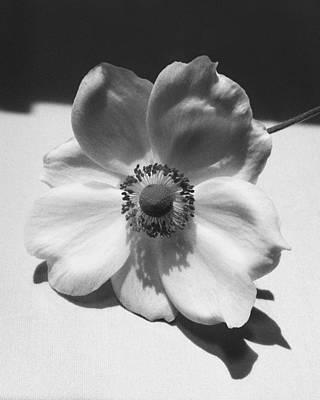 White Anemone Original by Terence Davis