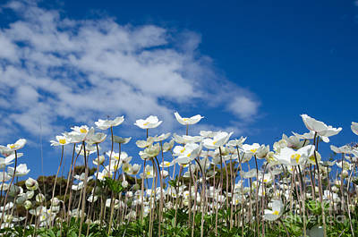 White Anemones At Blue Sky Art Print by Kennerth and Birgitta Kullman