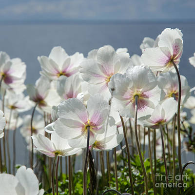 Photograph - White Anemones From The Back by Kennerth and Birgitta Kullman