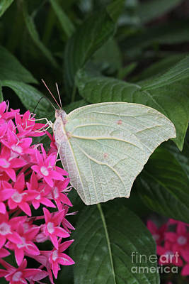 Photograph - White Angled Sulphur #3 by Judy Whitton