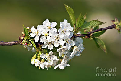 Photograph - White Apple Blossoms by Silva Wischeropp