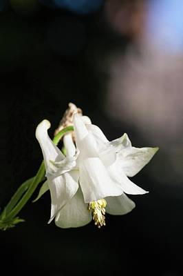 Photograph - White Aquilegia by Richard Thomas
