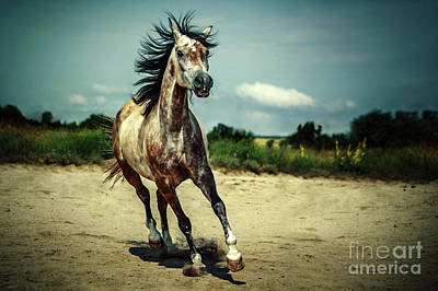 Photograph - White Arabian Stallion Running by Dimitar Hristov