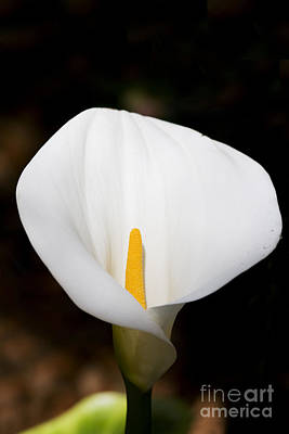 White Arum Lily Art Print by Jorgo Photography - Wall Art Gallery