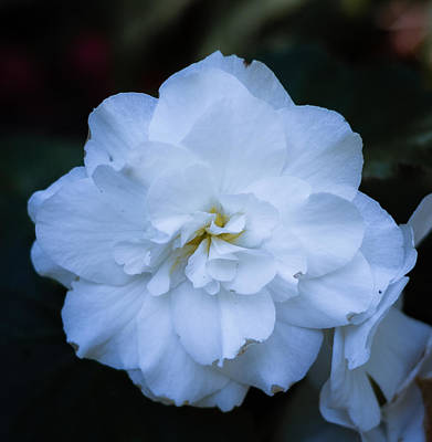 Photograph - White As Snow Begonia by Judy Wright Lott