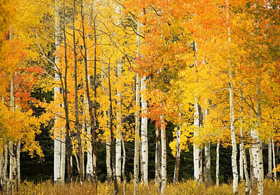 White Aspen Trunks Art Print