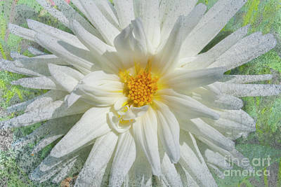 Photograph - White Asteraceae by Heiko Koehrer-Wagner