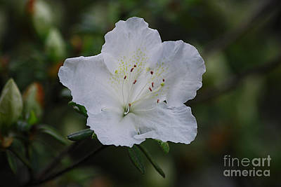 Photograph - White Azalea 20130517_97 by Tina Hopkins