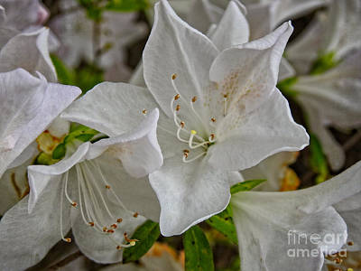 Photograph - White Azalea Blossom Beauty by Ella Kaye Dickey