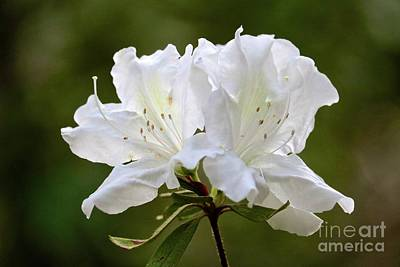 Photograph - White Azalea Closeup by Carol Groenen