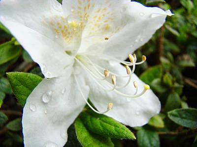 Urban Abstracts - White Azalea Flower 9 Azaleas Raindrops Spring Art Prints Baslee Troutman by Patti Baslee
