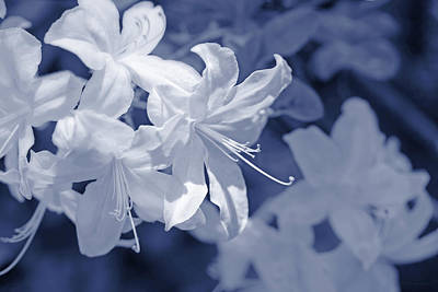 Photograph - White Azalea Flowers Blues by Jennie Marie Schell
