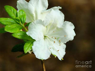 Art Print featuring the photograph White Azalea  by Rand Herron