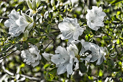 Photograph - White Azalea by Sharon Popek