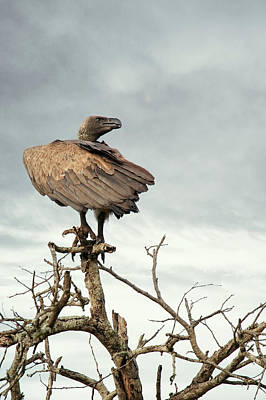 Photograph - White-backed Vulture Perched On Tree Branch by Susan Schmitz