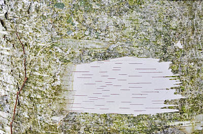 Photograph - White Bark by David Arment