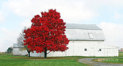 White Barn And Red Maple  5704 Art Print by Jack Schultz