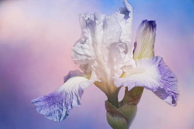 Photograph - White Bearded Iris by Cindi Ressler
