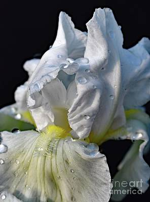 The Rolling Stones - White Bearded Iris Macro by Cindy Treger