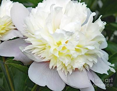 Summer Trends 18 - White Beauty - Festiva Maxima Double Peony by Cindy Treger