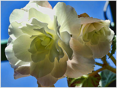 Photograph - White Begonia by Sergey Nassyrov