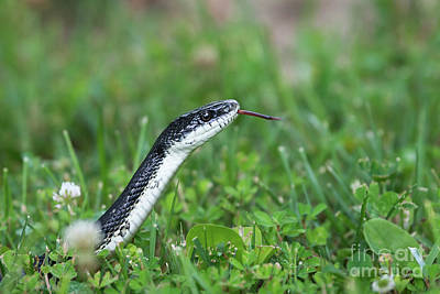 Photograph - White Bellied Black Snake by Andrea Silies