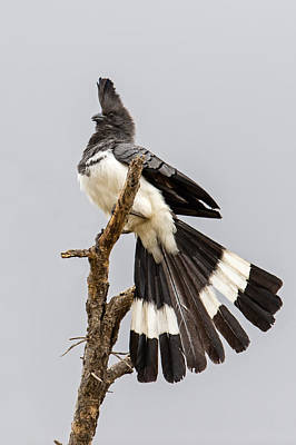 Go Away Photograph - White-bellied Go-away Bird by Panoramic Images