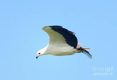 Photograph - White Bellied Sea Eagle by Venura Herath