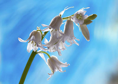 Photograph - White Bells by Shirley Mitchell