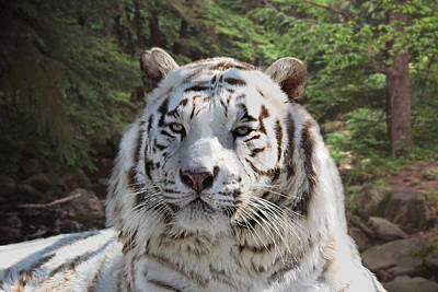Photograph - White Bengal Tiger Two by Michele A Loftus