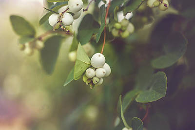 Photograph - White Berries by Cindy Grundsten