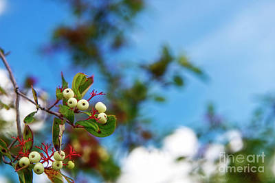 Photograph - White Berries by David Arment