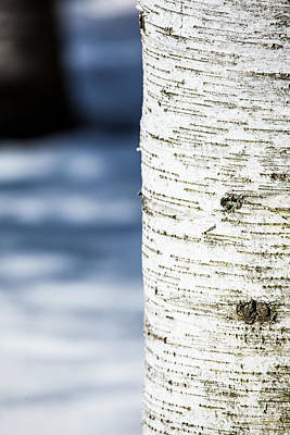 Photograph - White Birch Abstract by Karol Livote