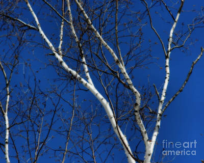 White Birch Blue Sky Art Print by Smilin Eyes  Treasures