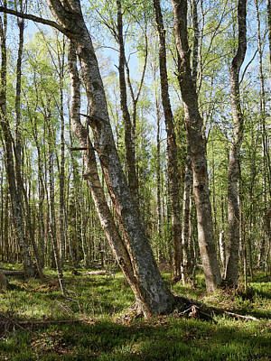 Photograph - White Birch Forest by Jouko Lehto