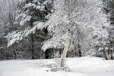 Photograph - White Birch In The Snow by Alana Ranney