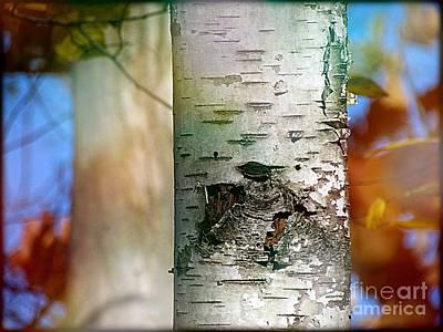 Photograph - White Birch Tree by France Laliberte