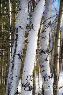 Photograph - White Birch Tree Trunks by Alana Ranney