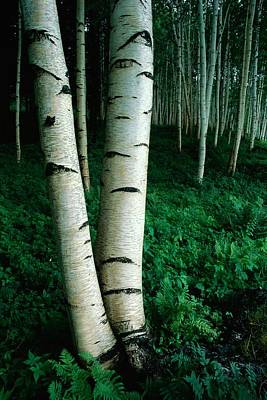 Forests And Forestry Photograph - White Birch Trees Betula Pendula Crowd by Phil Schermeister