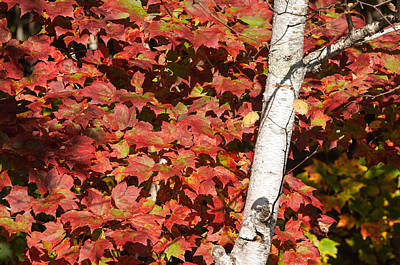 Autumn Photograph - White Birch With Red Leaves by Ralph Staples