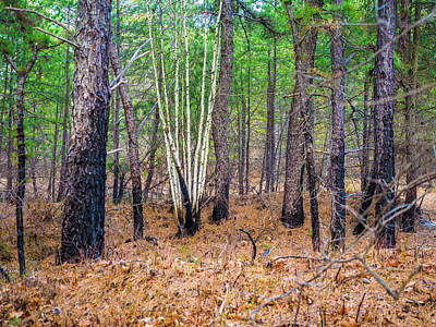 New Jersey Pine Barrens Photograph - White Birches In The Forest by Louis Dallara