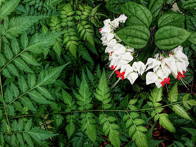 Photograph - White Bleeding Hearts H D R  by Aimee L Maher Photography and Art Visit ALMGallerydotcom