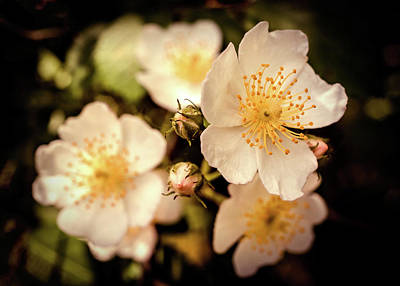 Photograph - White Bloom by Lilia D
